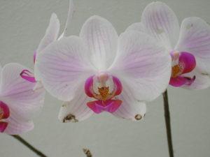 Orchid in Jardim Botânico, photo by Hakan Almerfors.