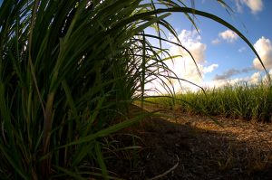 A field of sugarcane, photo by Simeon.