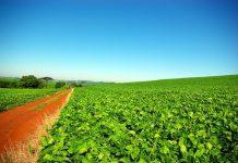 Soybean plantation in Rio Grande do Sul, Brazil, News
