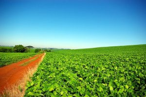 Soybean plantation in Rio Grande do Sul, Brazil News